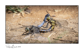 Mating Black-tailed Skimmers (Orthetrum cancellatum) dragonflies