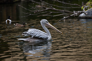 Pink-backed Pelican ( SOOC )