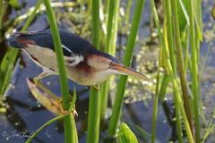 Least Bittern (TomLamb47) Tags: nature wildlife bird lebi least bittern marsh water vegetation preserve fruitland park florida fl canon 1d4 100400mm