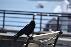 Crow in Coal Harbour (STLarson) Tags: bird crow raven coalharbour vancouver urbanbird