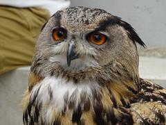 DSC07744 (guyfogwill) Tags: 2018 birds brandonsbirthday devon eurasianeagleowl gbr guyfogwill may owls paignton unitedkingdom paigntontorquay