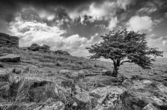 Growing through the granite (Frosty__Seafire) Tags: tree tor dartmoor nature national park landscape high contrast black white d7000 sigma 1020 wide