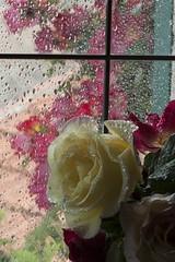 Perle (barbaracoccigatti55) Tags: pioggia sole rose gocce