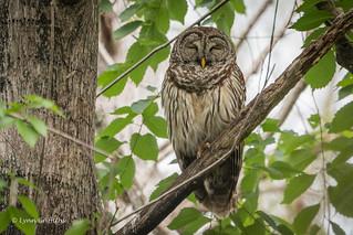 Sleepy Barred Owl 500_8019.jpg
