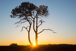 Pinus sylvestris - My sunrise tree