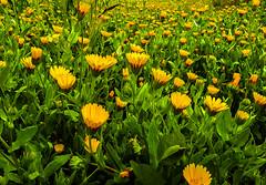 Field of daisies / Campo de margaritas (www.bestphotoedition.com) Tags: margarita daisie flor flower amarillo naranja yellow orange green verde
