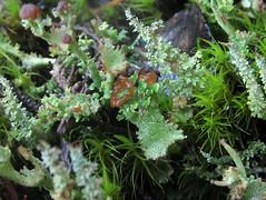 apothecia (chaerea) Tags: algae bc canada forest forestfloor fungi lichen mycology nature woodland cladonia