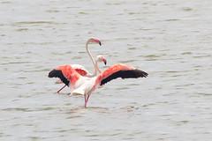 Flamencos (magomu) Tags: deltadelebro delta ebro ebre sigma150600contemporary flamingo flamenco