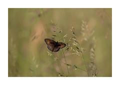 Papillon - Le Myrtil-2795125A2795 (helenea-78) Tags: