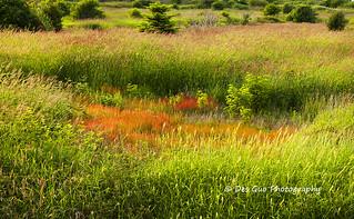 Wild Grass Field, Mud Bay Park, Surrey BC