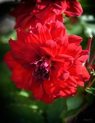 Fiery Red (Jocey K) Tags: newzealand nikond750 christchurch rose dahlia