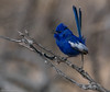 White-winged Fairy-wren Malurus leucopterus Maluridae (Mykel46) Tags: birds nature wildlife sony a9 100400mm 2xtele blue colbalt colour white pretty small singing bokeh outside outdoor outdoors background