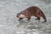 Grumpy (mikedoylepics) Tags: surrey otter europeanotter britishwildlifecentre mammals lingfield nature