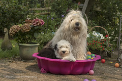 """a ball pool is nicer with the two of us... :) """" explore"""" (dewollewei) Tags: ball pool ballpool ballenbad oes bobtail oldenglishsheepdog oldenglishsheepdogs old english sophieandsarah sophieensarah wickedwisdoms pup puppy fun play explore explored exploreddogs sheepdogs bad ballen adorable puppie garden canon7dmark2 50mm canon bath"""
