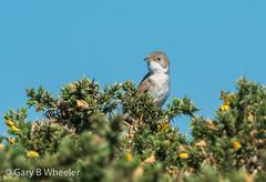 Whitethroat (Ponty Birder) Tags: g b wheeler garywheeler pontybirder birds suffolk warbler england