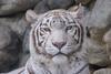 Kara  ♀ - Drop-dead Gorgeous (Belteshazzar (AKA Harimau Kayu)) Tags: kara tiger zoo animal bigcat bigcats feline bengaltiger pantheratigristigris königstiger indischertiger eltigredebengala tigredubengale latigrerealedelbengala бенгальскийтигр 孟加拉虎 whitetiger weisertiger tigreblanco tigreblancroyal белыйтигр 孟加拉白虎 zooshot tobu tobuzoo snowwhite mirrormirror mutti mutter muttivonvierkindern frühlingserwachen springawakening monday