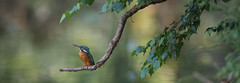 R18_3491-Pano (ronald groenendijk) Tags: cronaldgroenendijk 2018 rgflickrrg alcedoatthis animal bird birds copyrightronaldgroenendijk europe groenendijk holland ijsvogel kingfisher martinpecheur mating nature natuur natuurfotografie netherlands outdoor paring ronaldgroenendijk vogel vogels wildlife