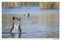 Petit cadeau final ! (C. OTTIE et J-Y KERMORVANT) Tags: nature animaux oiseaux grèbe grèbehuppé lac suisse