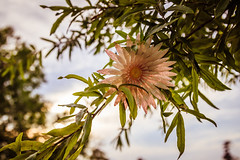 Flower. (nicomercer) Tags: market common myrtle beach south carolina flower