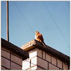 Hawk in the city (Ігор Кириловський) Tags: 135 35mm kyrylovsky kirilovskiigor lviv ukraine slr minoltadynax404si minolta afzoom75300mmf4556 film kodak ultramax400 markstudiolab chernivtsi hawk city