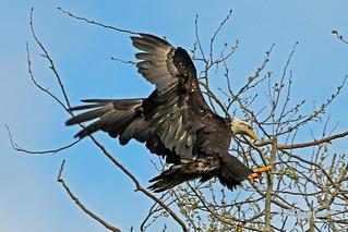 Bald Eagle Landing 18-0422-2284