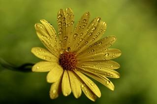 Drops On A Daisy