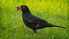 Blackbird (stevehimages) Tags: steve steveh stevehimages staffordshire higgins bird 2018 wowzers warden grandpasden wildlife nature garden blackbird