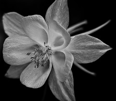 A beautiful white Aquilegia!😊😊😊 (LeanneHall3 :-)) Tags: blackandwhite mono aquilegia petals closeup closeupphotography macro macrophotography flower flowersarefabulous flowersarebeautiful flowerflowerflower canon 1300d macrounlimited