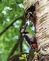 Greater Spotted Wood Pecker feeding its chick (Craig Hannah) Tags: greaterspottedwoodpecker bird wildlife nature spring june 2018 nest tree silverbirch dobcross saddleworth pennine young chick craighannah westriding yorkshire oldham greatermanchester england uk hole photography photo canon beautiful theworldisbeautiful