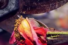 For some, life is a tightrope walk. Maybe better not to be too gluttonous. (Gudzwi) Tags: bunt colourful forficulaauricularia ohrwurm ohrenkneifer earwig greenfly blattlaus daslebenisteinegradwanderung lifeisadegreewalk gartenschere secateurs gardenshears rusty rostig verwelkterose witheredrose pruningclippers sonnenlicht sunlight bright strahlend 7dwf 7dwfsundaysfauna fauna macro makro closeup macroorcloseup bokeh blur rose macromondays handtool