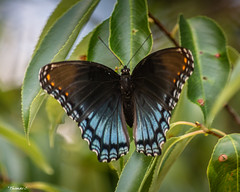 What A Beauty (that_damn_duck) Tags: nikon nature insect butterfly colorful wings leaves