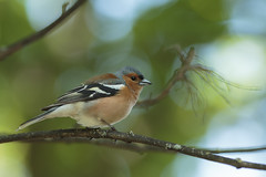 Chaffinch (Fringilla coelebs) (Eastern Davy) Tags: chaffinch fringillacoelebs bird wildlife wild outdoor riveresk eskmills musselburgh scotland canon 70d 300mm