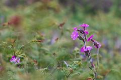 Campion (jillyspoon) Tags: campion depthoffield wildflowers kerbside pink petals dof growing nature colours green flowers amidst amongst