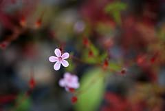 wild flower (*suika *) Tags: abstract wildflower shallowdof ふうろ草 道端の花 ピンボケ tam9