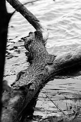 fallen (Rene_1985) Tags: sony a7 ii ilce zeiss 135f18z 135mm tele 18 black white schwarz weis bw monochrom kontrast contrast tree water wasser baum stamm sonnar sonnart18135
