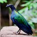 The iridescent colors of the Nicobar Pigeon