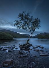 Arboreal Discourse (markrd5) Tags: wales snowdonia llanberis llynpadarn lonetreeatllynpadarn sunrise bluehour longexposure tree leefilters