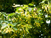 Lime tree in the French country. (Elise de Korte) Tags: fr france frankrijk ldf lafrance abeille abeilles apis arbre arbres bee bees bij bijen bloei bloeien bloesem blossom bomen boom campagne country flowering honeybee honingbij limetree linde linden platteland tilleul tree trees