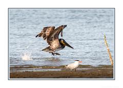 Oh, No! Don't let it get away! (JohnKuriyan) Tags: alameda california elsie roemer bird sanctuary brown pelican caspian tern