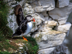 Puffin (Tony Smith Photo's) Tags: beak beauty bemptoncliffs bill bird birdwatching birds black cliff coast coastal color colourful feathers grass green nature orange rspb sea standing summer uk white wild wildlife wings yorkshire alcidae animal auk background beautiful bempton birdsanctuary birding cliffs coastline colorful cute east feather fratercula life ornithology outdoor plumage pretty puffin reserve rock rugged seabird seabirds