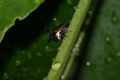 Wet Tree Hopper (Craig Tuggy) Tags: thailand macro reverse lens tree hopper insect nature
