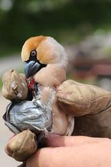 IMG_0812 (rudolf.brinkmoeller) Tags: wandern slowenien artviže kernbeiser coccothraustescoccothraustes finke vogel tier