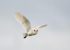 Barn Owl - between showers (Tony McLean) Tags: ©2018tonymclean tophilllow eastyorkshire naturephotography wildlifephotography nikond4 nikon500f4gvr barnowl