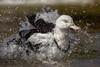 Moluccan Radjah Shelduck (ToddLahman) Tags: moluccan radjah shelduck duck beautiful outdoors splishsplash bath water pond walkaboutaustralia sandiegozoosafaripark safaripark canon7dmkii canon canon100400 closeup portrait