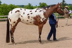 JBC_4779.jpg (Jim Babbage) Tags: krahc horseshow appaloosa horses 2018