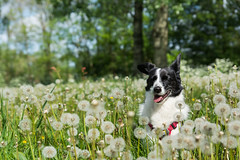 Dandelion field (MelissaW Dog Photography) Tags: penny corgi mix ruffwear webmaster dog cute sweet soft friend sunny spring flowers sun flower twiske nature nikon d5200 tamron 1750 28 nonvc happy pet red green animal grass field white dandelion dandelions