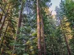 IQ3 100MP Trichromatic (Robert Windel) Tags: iq3 100mp trichromatic phaseone mediumformat redwoods trees nature norcal northerncalifornia