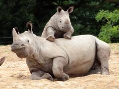 White Rhino Burgerszoo JN6A6482 (j.a.kok) Tags: rhino rhinoceros rhinocerosunicornis whiterhino witteneushoorn neushoorn breedlipneushoorn burgerszoo animal africa afrika mammal zoogdier dier herbivore
