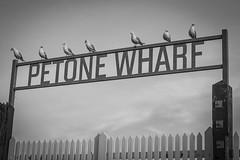 Petone Wharf Seagulls
