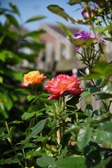 DSC_0284 (PeaTJay) Tags: nikond750 reading lowerearley berkshire macro micro closeups gardens outdoors nature flora fauna plants flowers rose roses rosebuds